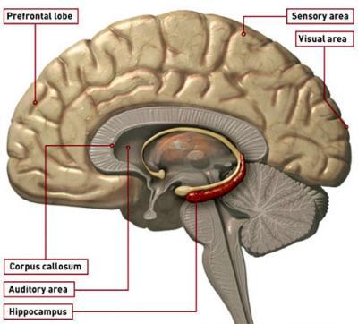 Hippocampus and Depression (1/2)