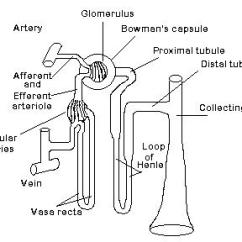 Bowman S Capsule Diagram 24 Volt Trailer Plug Wiring Kidney Function Blood Flows Into The Kidneys Through Renal Artery And Enters Glomerulus In Flow Is Split Fifty