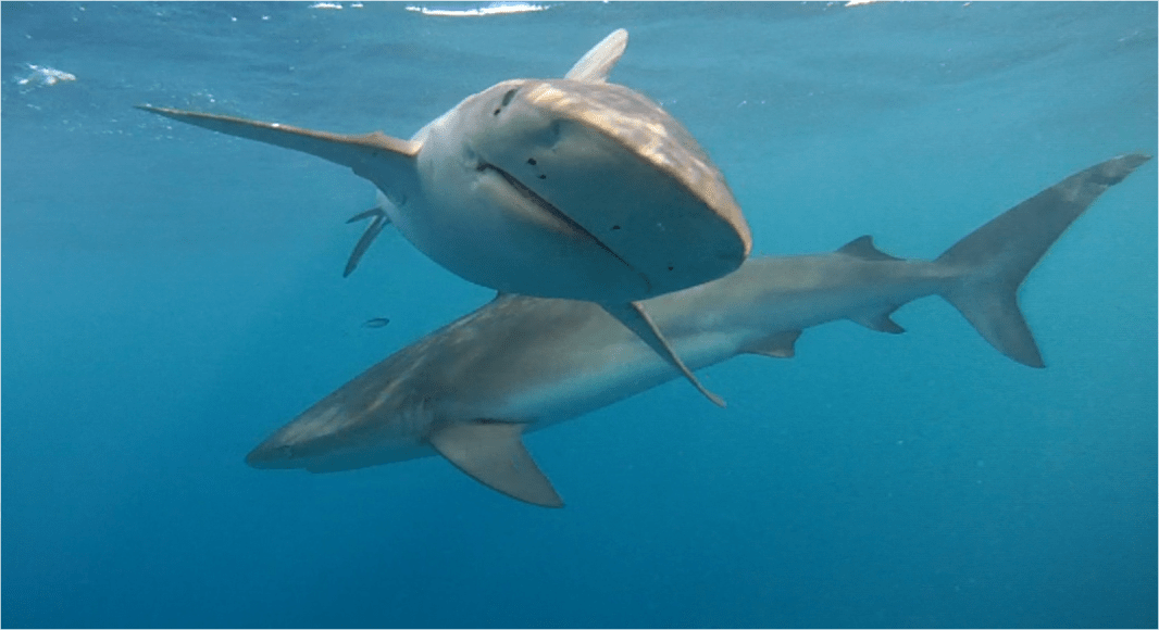 Diving with Sharks in Hawaii