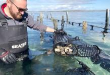 オーストラリアの牡蠣養殖法(シングルシード方法)