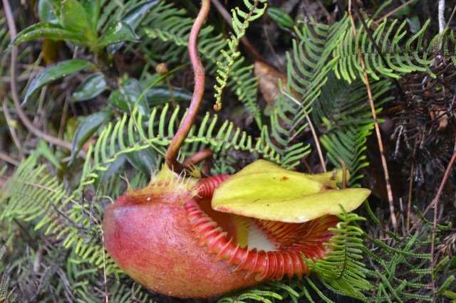 A carnivorous Pitcher plant that eats insect for a living, would you believe