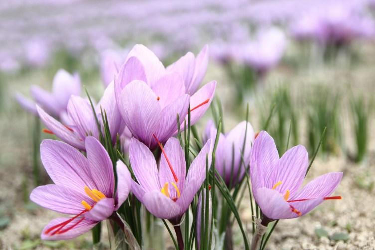 Grow Your Own Saffron - Shonnard's