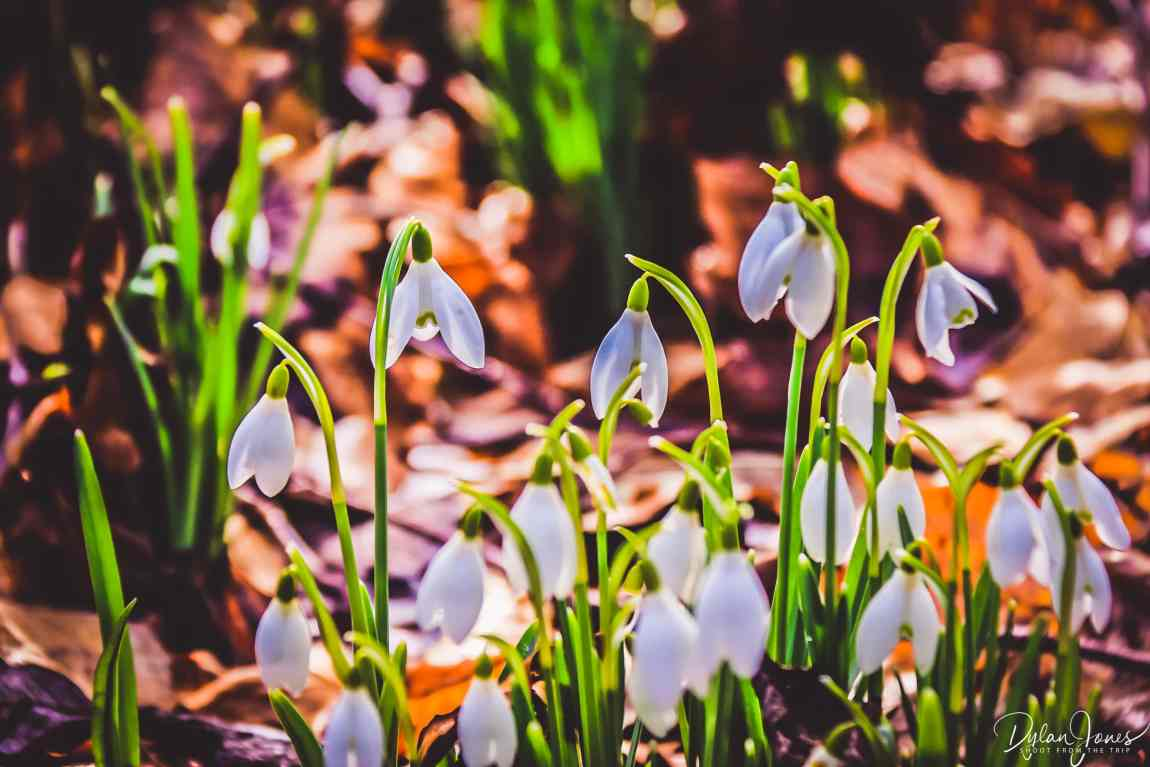 A close up the woodland snowdrops in Welford Park