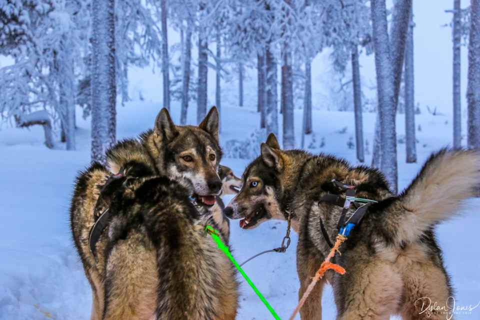 Our pack of huskies, taking us out into the forests of Saariselkä Lapland