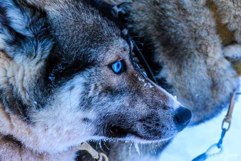 Beautiful Siberian Husky, Saariselkä Lapland