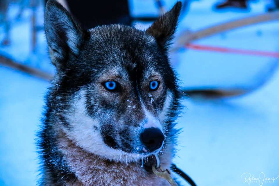Beautiful ice blue eyes of the Siberian Husky Saariselkä Lapland