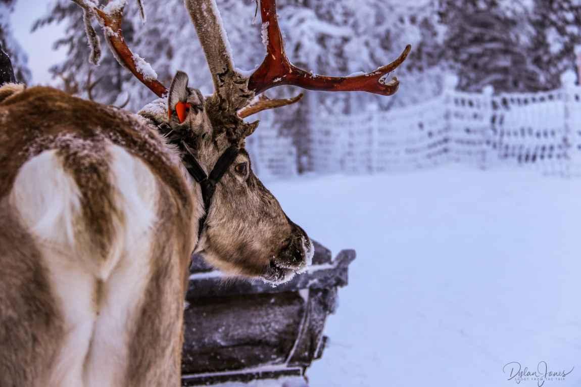My trusty reindeer friend, Saariselkä Lapland
