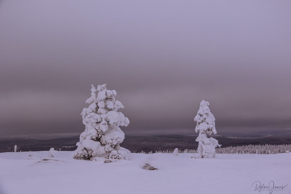 Trees heavy with ice and snow on the fells near Saariselkä Lapland