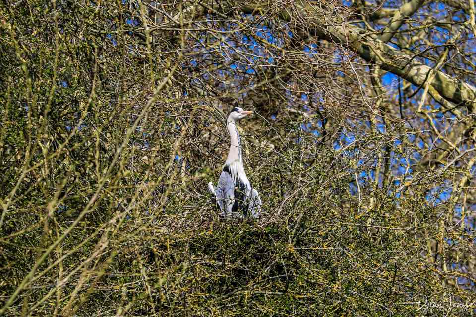 A heron nesting in the trees above the River Thames