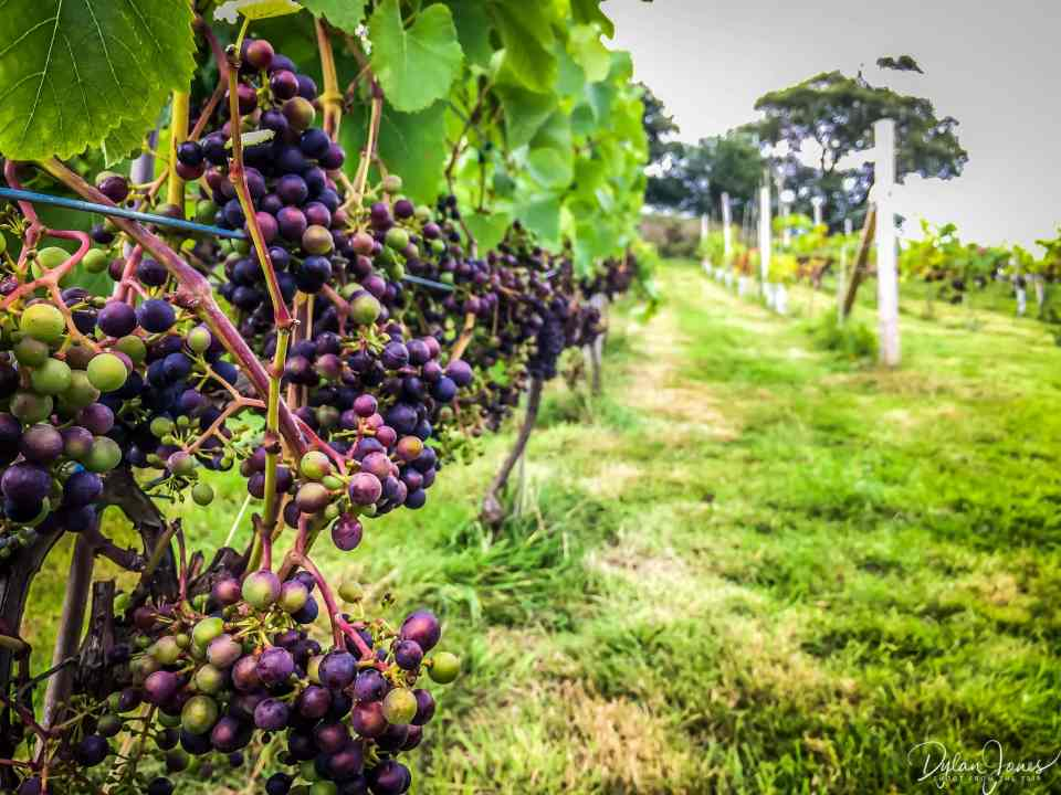 Black grapes at Gwinllan Conwy
