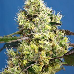 Sweet Seeds - Sweet Gelato Auto