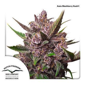 Dutch Passion - Auto Blackberry Kush
