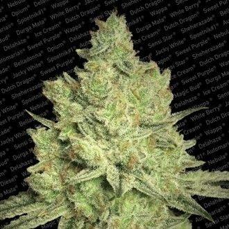 Paradise Seeds - Jacky White