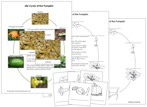 small resolution of diagram of pumpkin life cycle