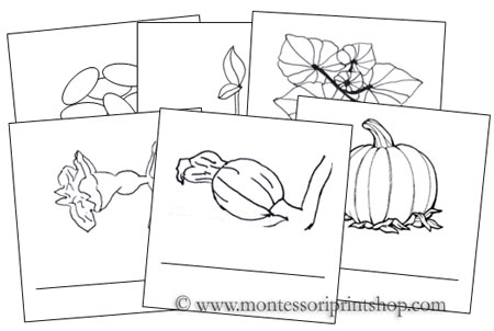 Pumpkin Life Cycle Cards: Montessori Parts of a Pumpkin Cards