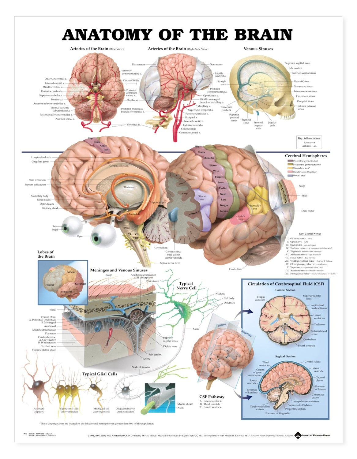 brain model diagram whelen siren wiring anatomy of the anatomical chart models and