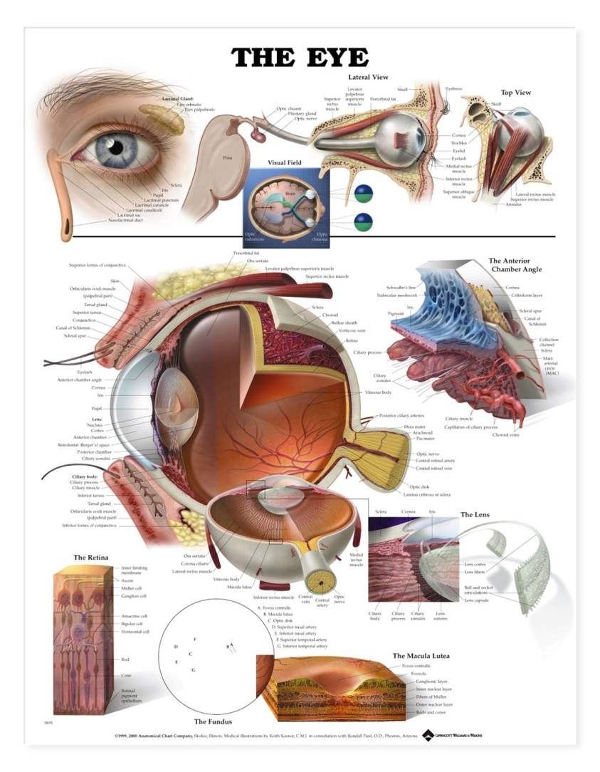 The Eye Anatomical Chart - Anatomy Models and Anatomical ...