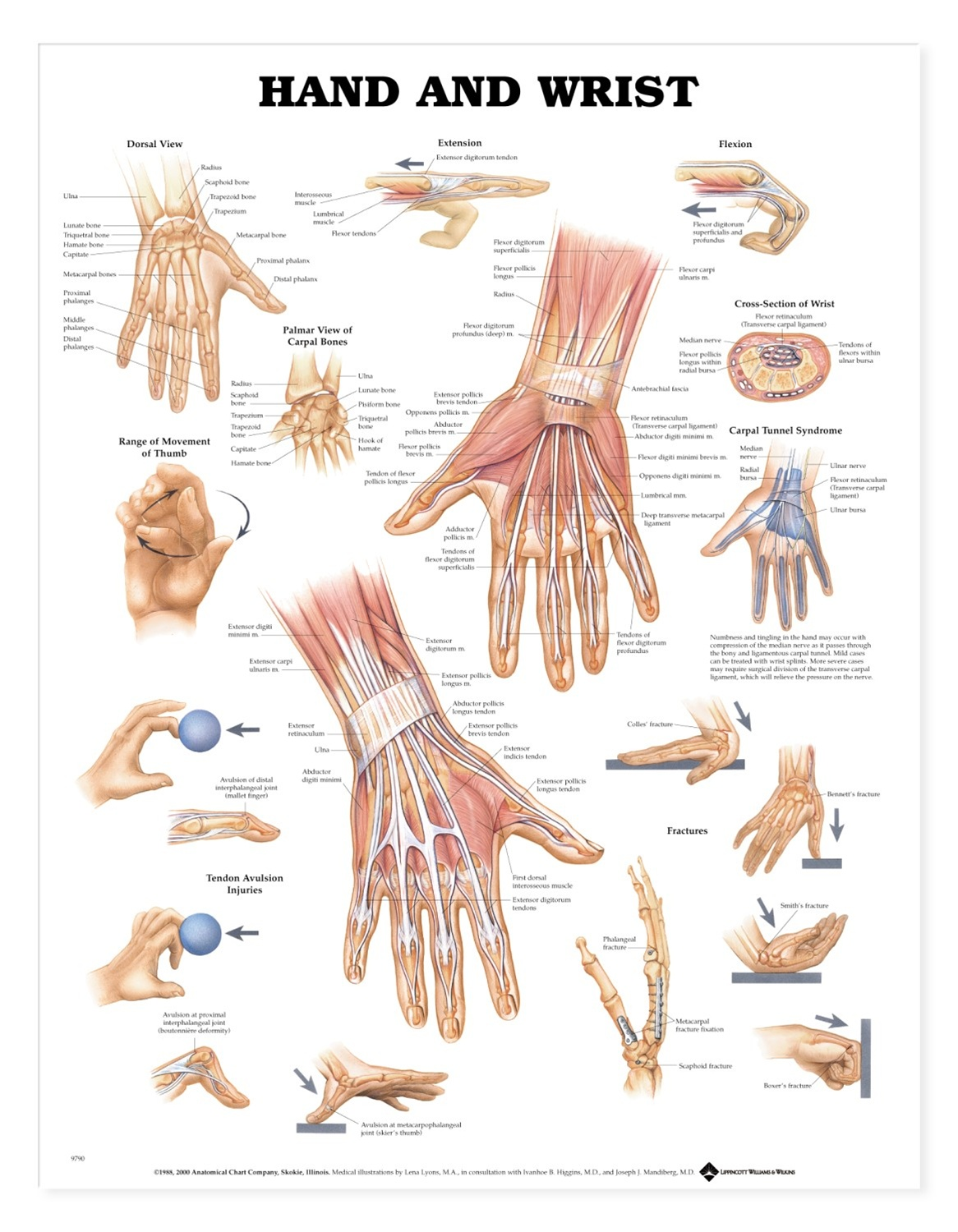 palmar hand muscle anatomy diagram of trachea tissue and wrist anatomical chart models