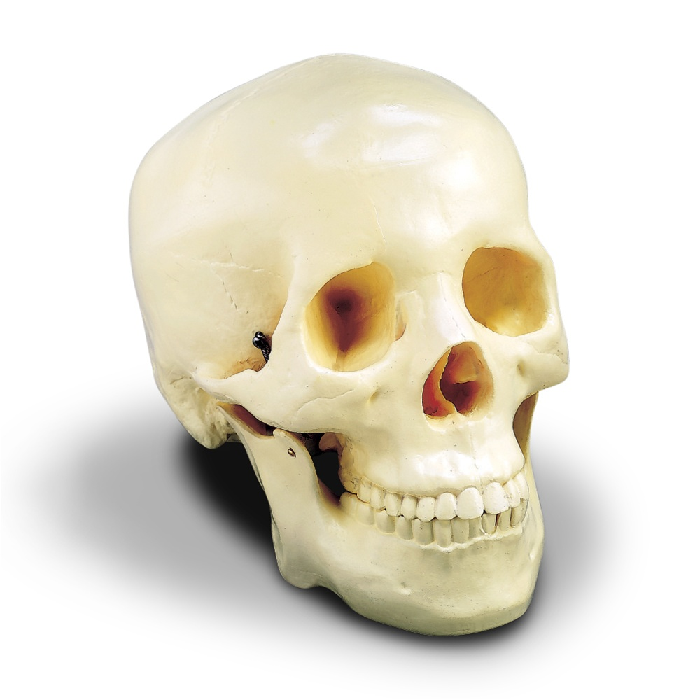 Budget TwoPiece Skull  Anatomy Models and Anatomical Charts
