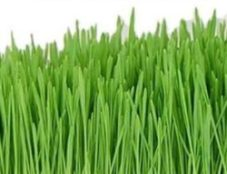Wheatgrass _Growing Kits Made Easy
