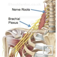 Nerves In Neck And Shoulder Diagram Chimpanzee Skull Pain Referred To The Shoulderdoc By Prof Lennard Funk From Your Nerve Roots Also Travel Down Arm Via Brachial Plexus Thus May Extend