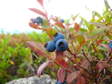 Blueberries on the Baldface Circle Trail, White Mountain National Forest