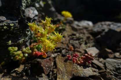 Succulent on Yellow Aster Butte