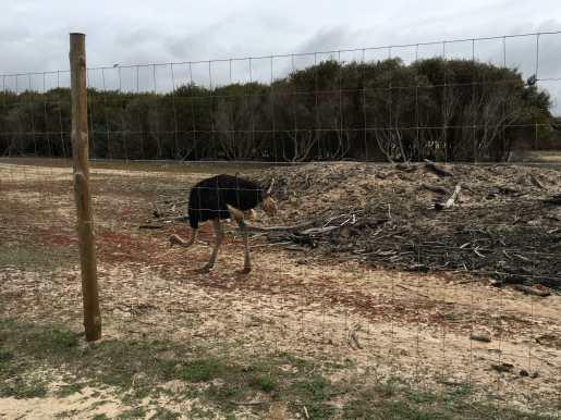 Lone ostrich near Carvalhal Beach