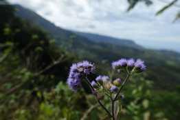 purple flowers on Okolehao Trail