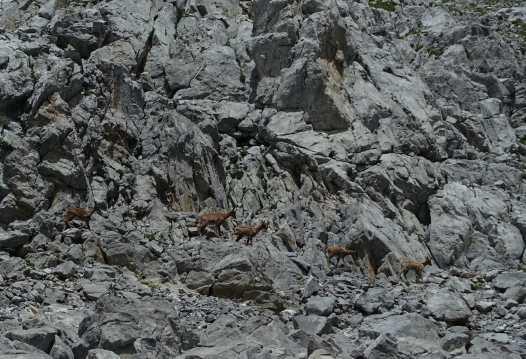 Five chamoix walk single file along a rocky slope