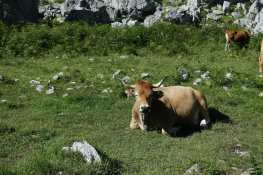 an austurian cow sits in a pasture, with flies in its nose Two other cows graze in the background.