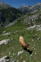 Asturian cow in the foreground, while others graze in the background.