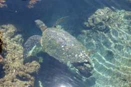 Sea Turtle in the water at Ho'okipa Lookout