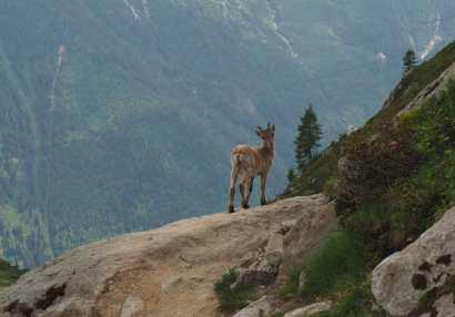 Baby Ibex near Flégère