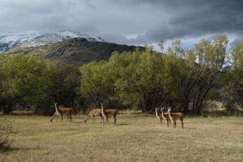 Seven guanacos in a field in Parque Patagonia, with snow-capped mountains in the background