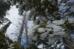 Rime ice on tree, Cedar Breaks National Monument