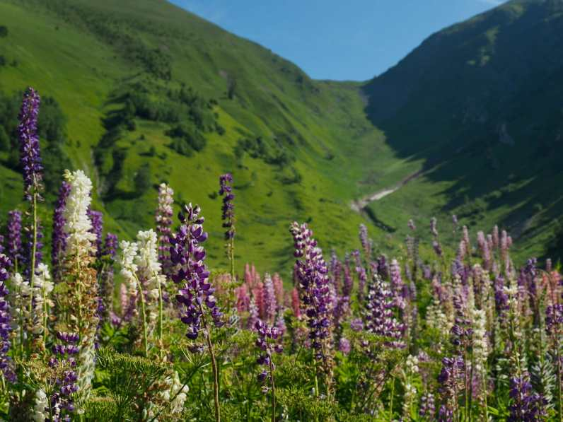 Lupine and Col de Tricot