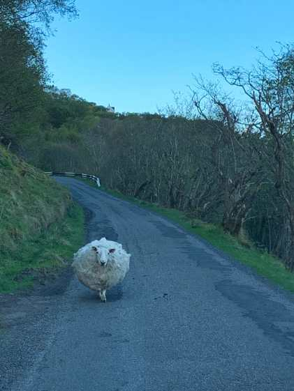 World's fluffiest sheep in the road