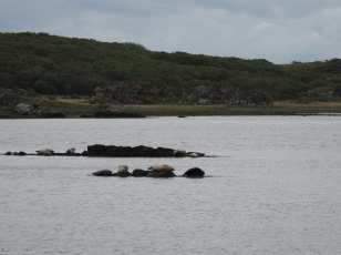Seals near Ardbeg
