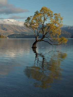 Willow in Lake Wanaka, with mountains behind