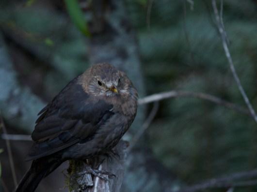 Bird on Glencoe Walk