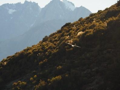 Kea in flight