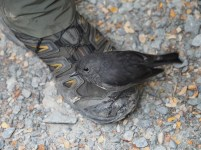 South Island Robin on Kyle's boot