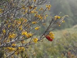 'I'iwi (Scarlett Honeycreeper) in Hosmer's Grove