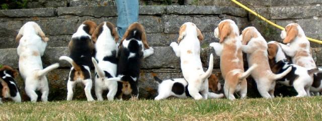 beagle colors chart