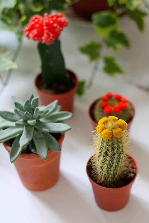 Cactussen onderhouden  Inspiraties  ShowHomenl