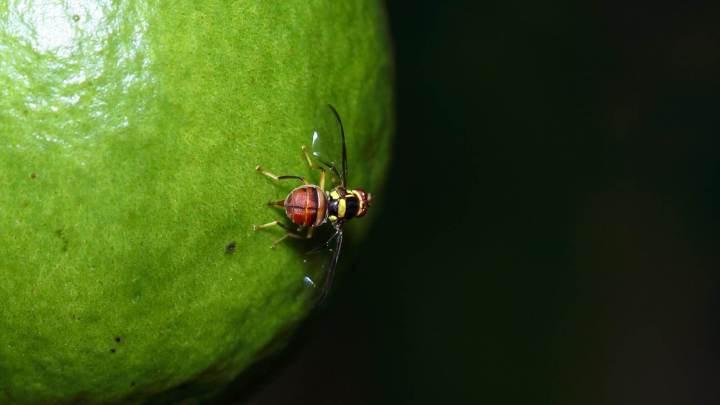 FruitFly - vírus para Mac