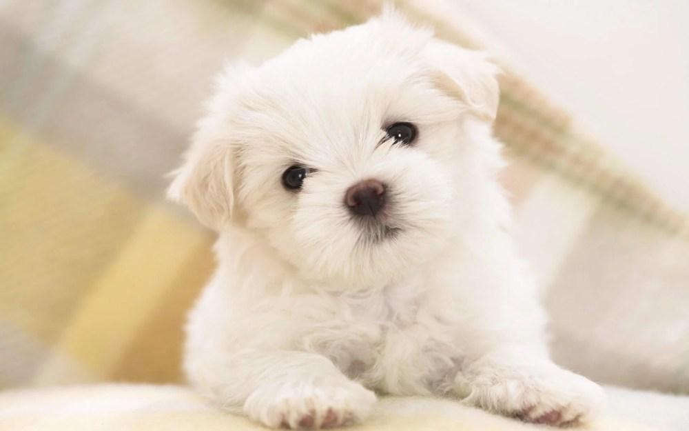 cachorro de bichon maltes - Como o seu cãozinho adestra você