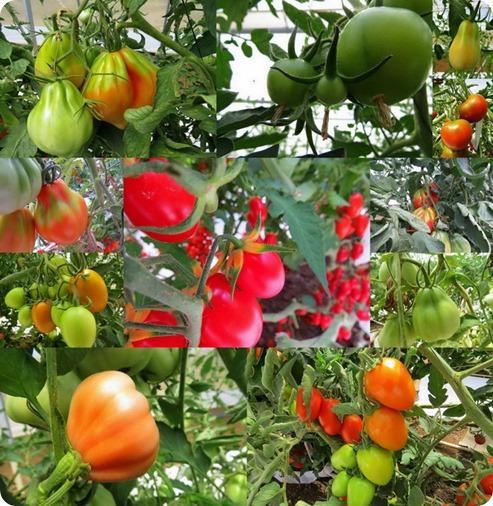 tomatoesnos1