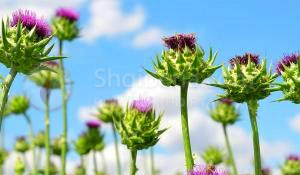 Kura me bimën më të përhapur në Shqipëri që po bën namin gjithandej